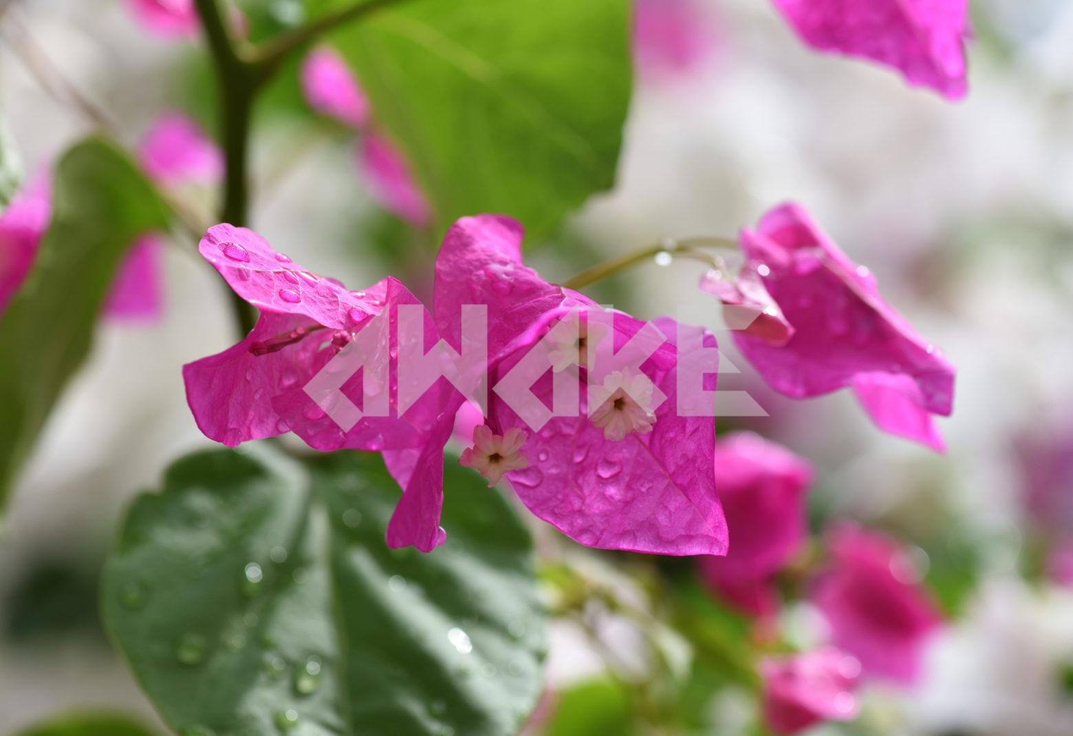 Beautiful Blossom 79