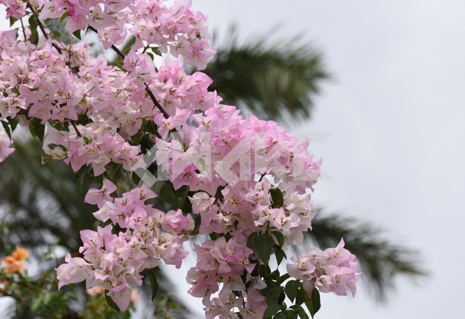 Beautiful Blossom 81