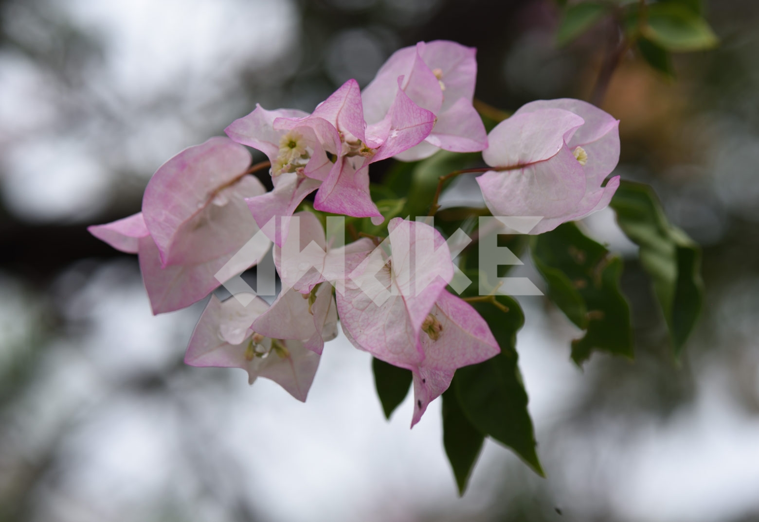 Beautiful Blossom 82