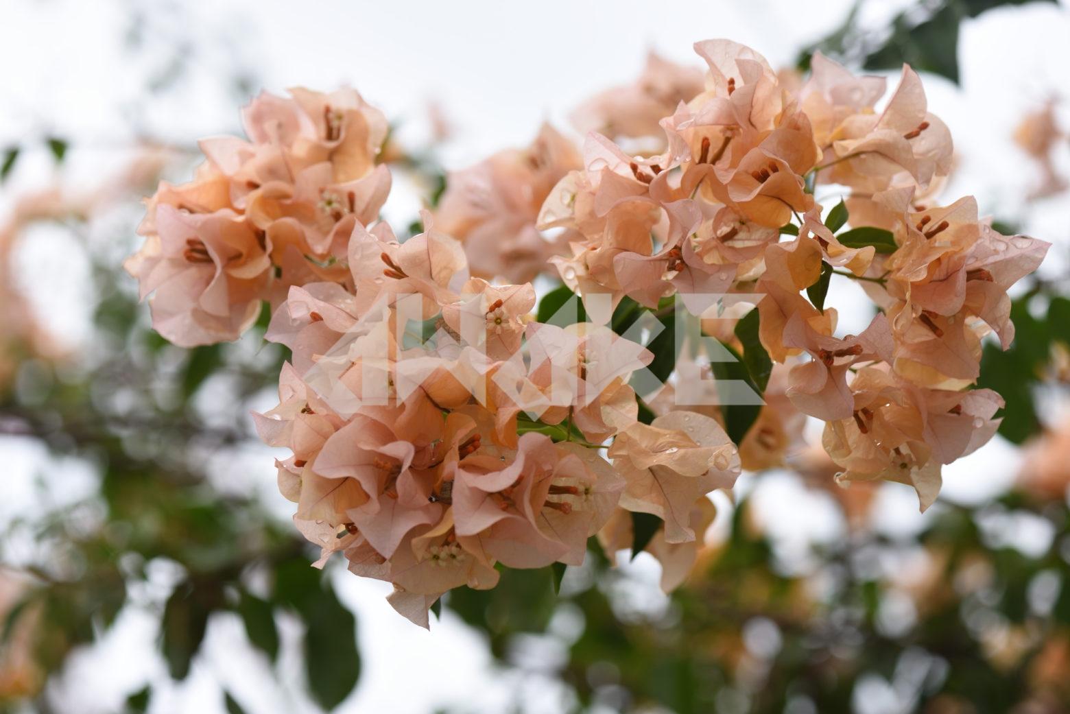 Beautiful Blossom 83