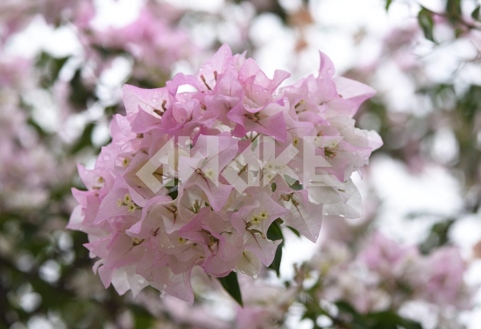Beautiful Blossom 84